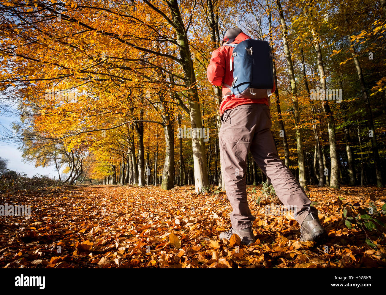 A man walking in the New Forest, Hampshire, UK in Autumn - Stock Image