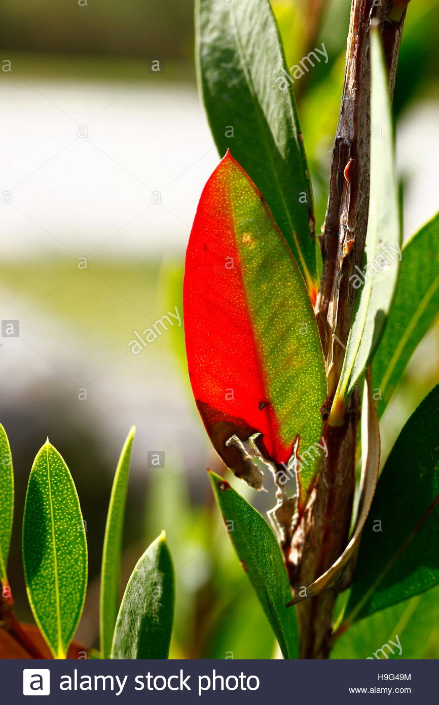 The effect of autumn leaves with redness - Stock Image