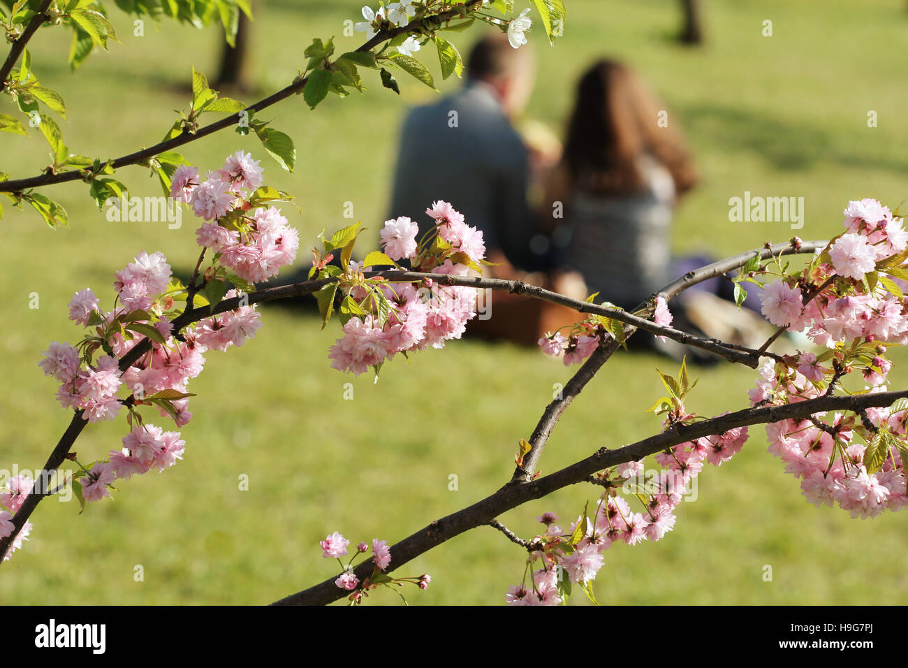Sakura blooming . Romantic couple having a date under pink cherry blossom trees - Stock Image