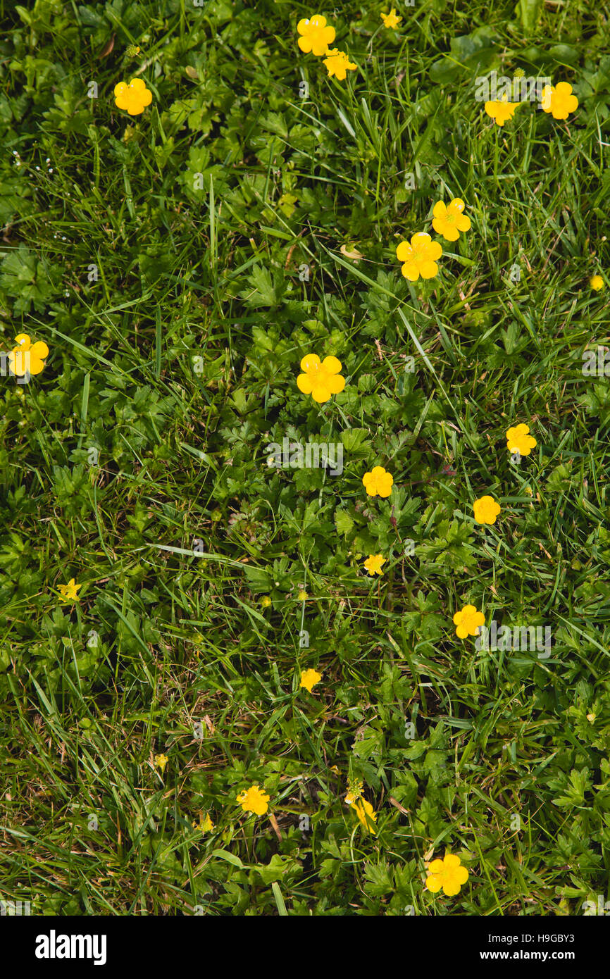 Plant Flower Creeping Buttercup Ranunculus Repens Small Yellow