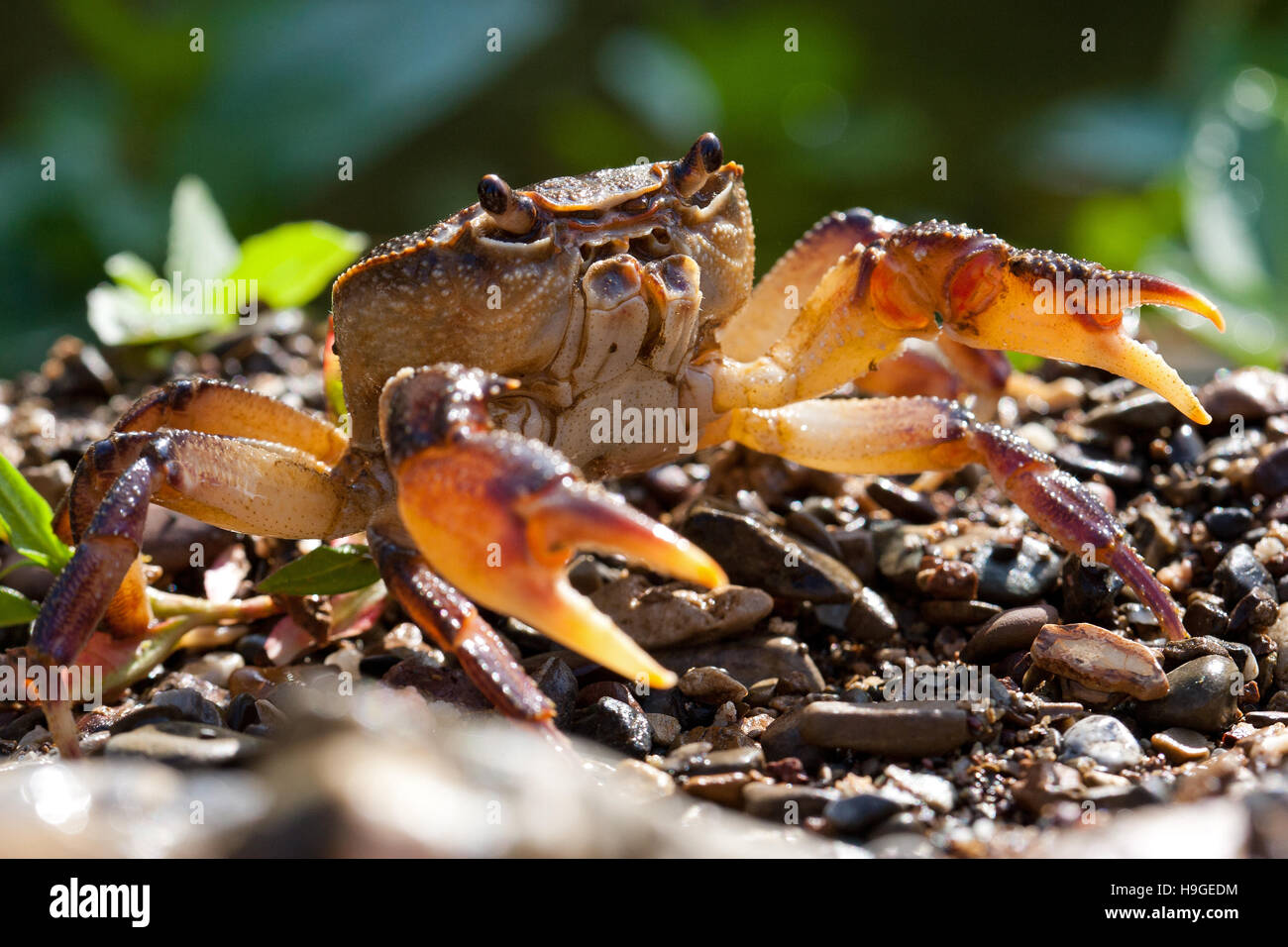 Crab on the river bank - Stock Image