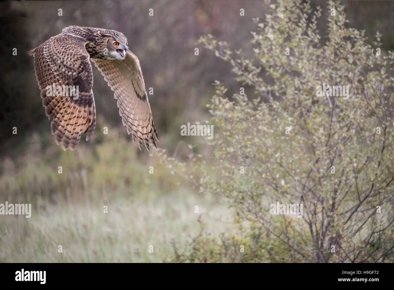 Great Horned Owl - Stock Image