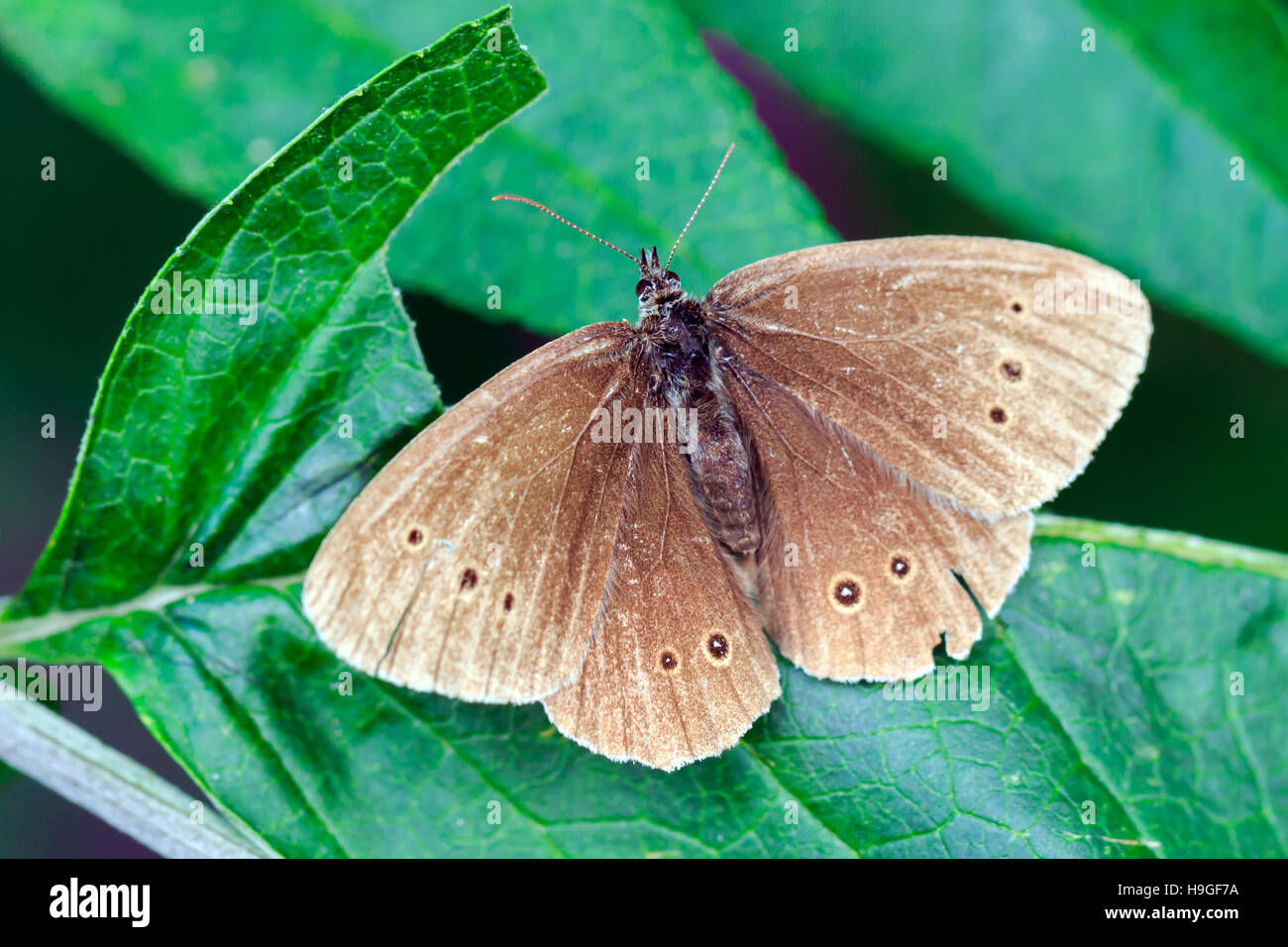 Ringlet Butterfly sat on a leaf in an English garden - Stock Image