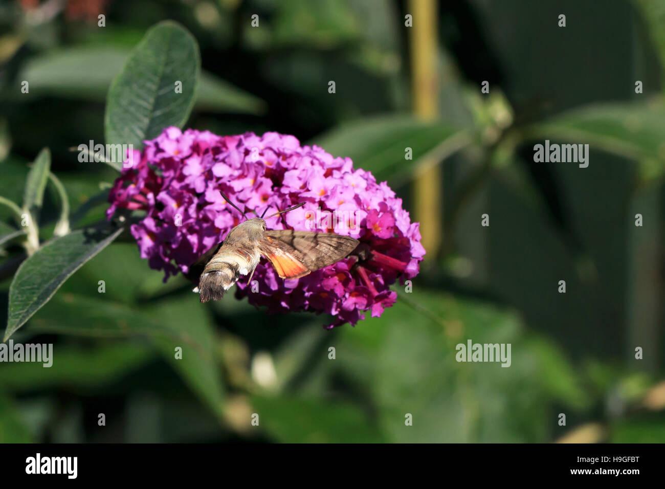 Humming-bird Hawk-moth feeding from Buddleia flowers in the UK - Stock Image
