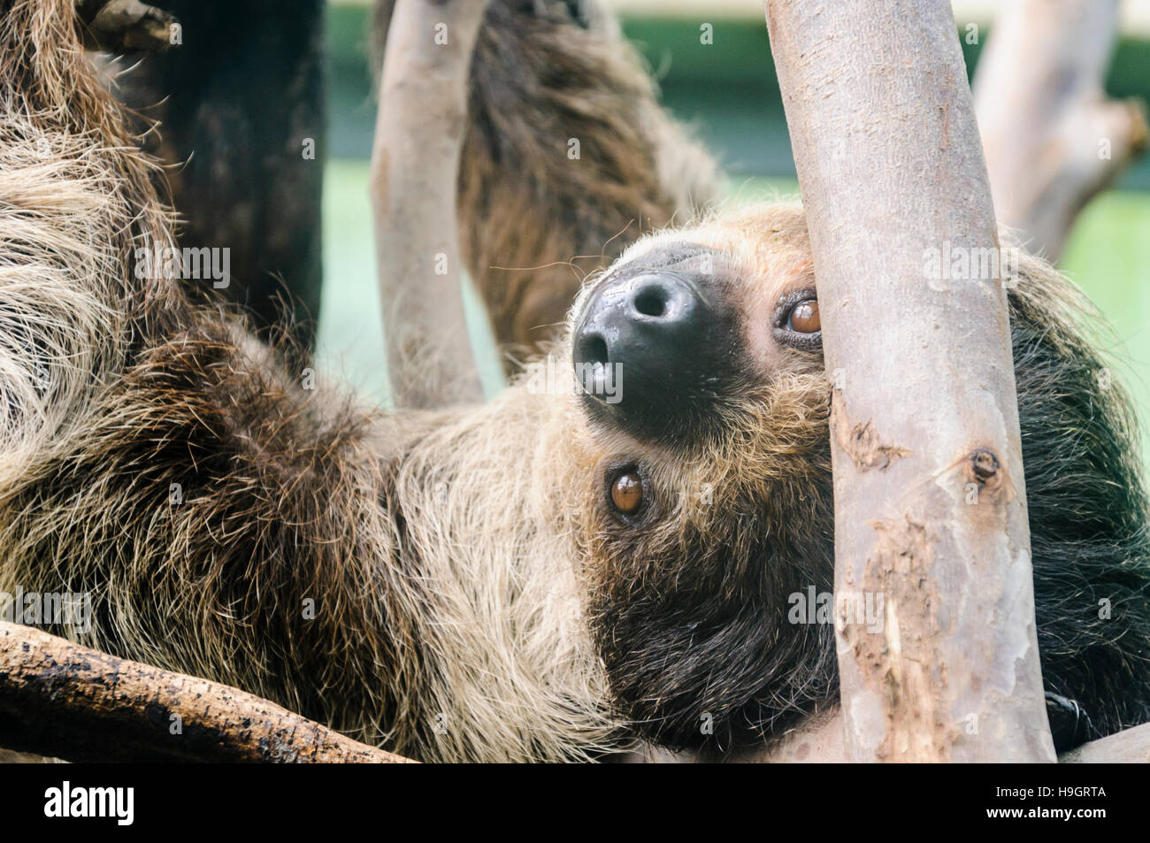 Three toed sloth hanging upside down from some branches. - Stock Image