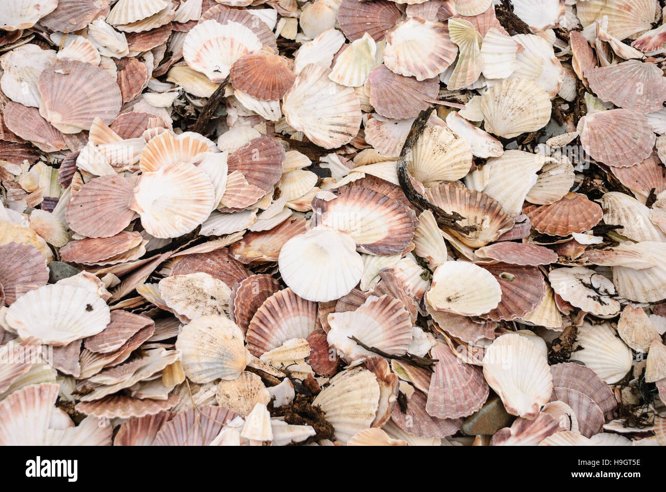 Large number of scallop shells on a beach. - Stock Image