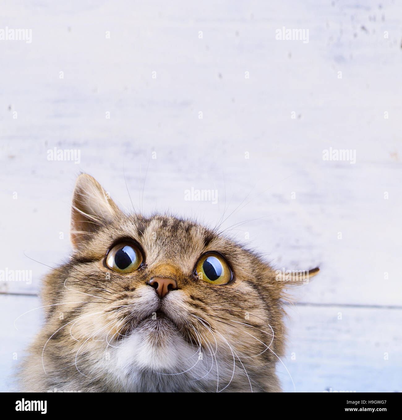 frightened and surprised Gray cat looking up with wide-open eyes on white background - Stock Image