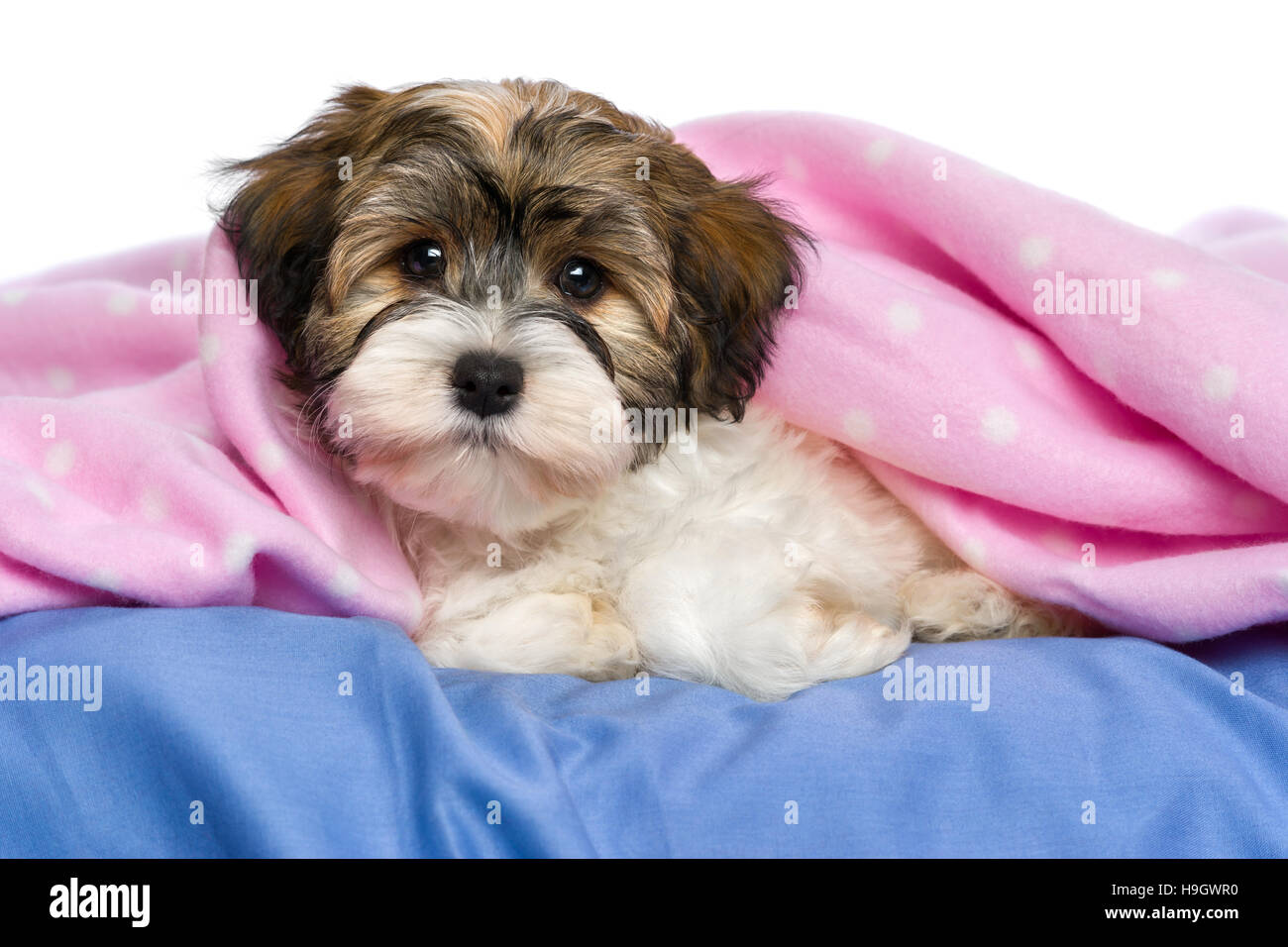 Cute little tricolor Havanese puppy dog is lying on a bed under a pink blanket - Stock Image