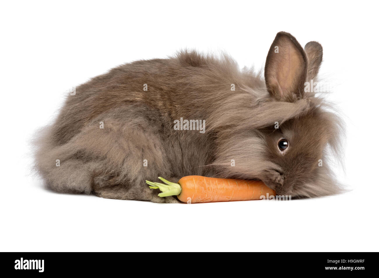 A cute chocolate colored mini lionhead bunny rabbit is eating a carrot - Stock Image