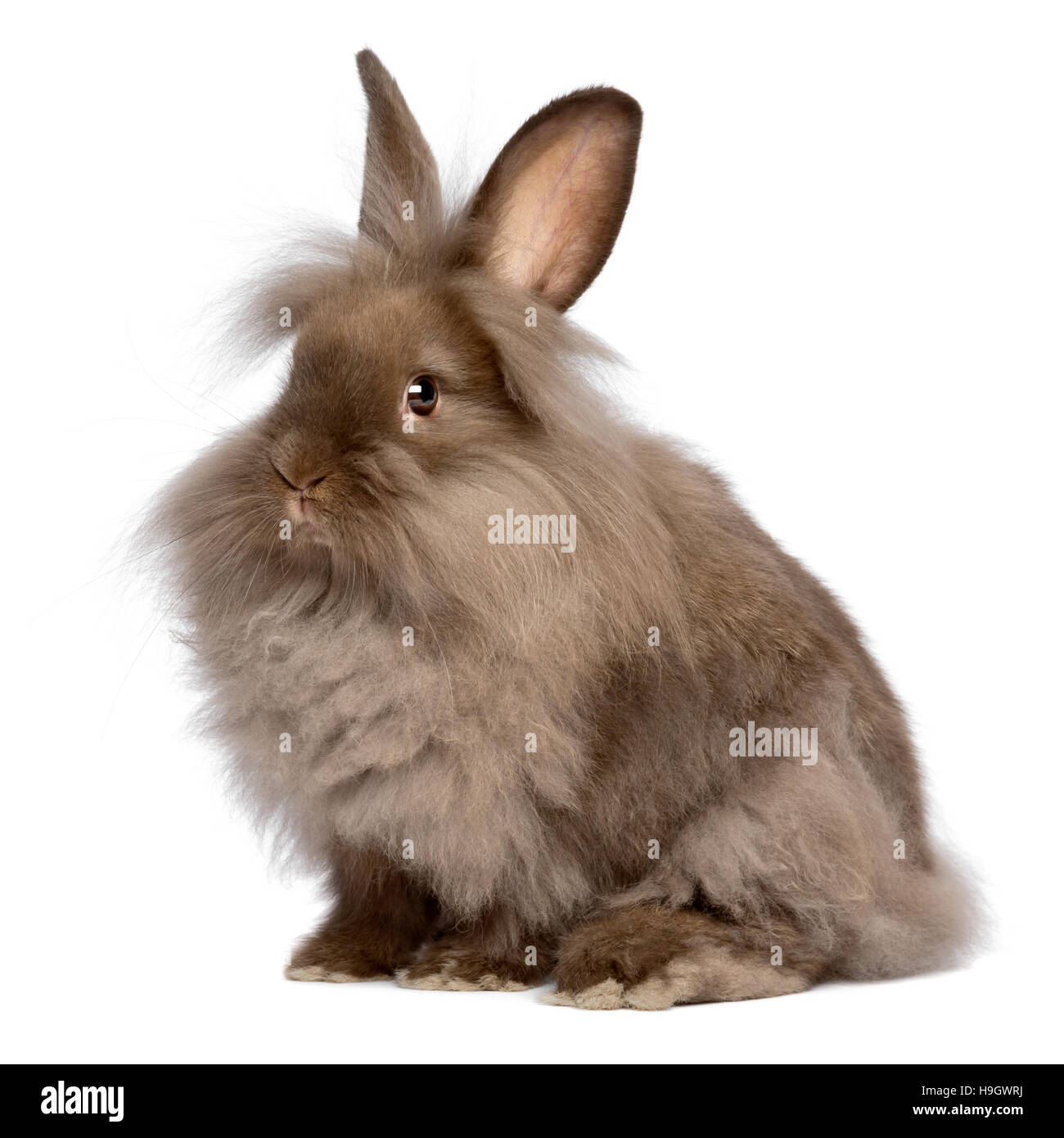 A cute sitting chocolate colored lionhead bunny rabbit - Stock Image