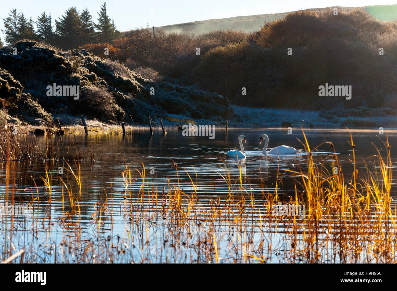 Ardara, County Donegal, Ireland weather. 24th November 2016. Swans glide on Lake Shanaghan on a calm, crisp, cold - Stock Image