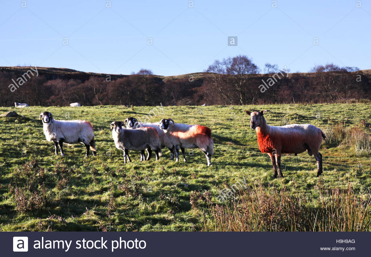Holwick, Middleton-in-Teesdale, Co Durham, UK. 24th November 2016 Tupping time in the North Pennine hills as the Stock Photo