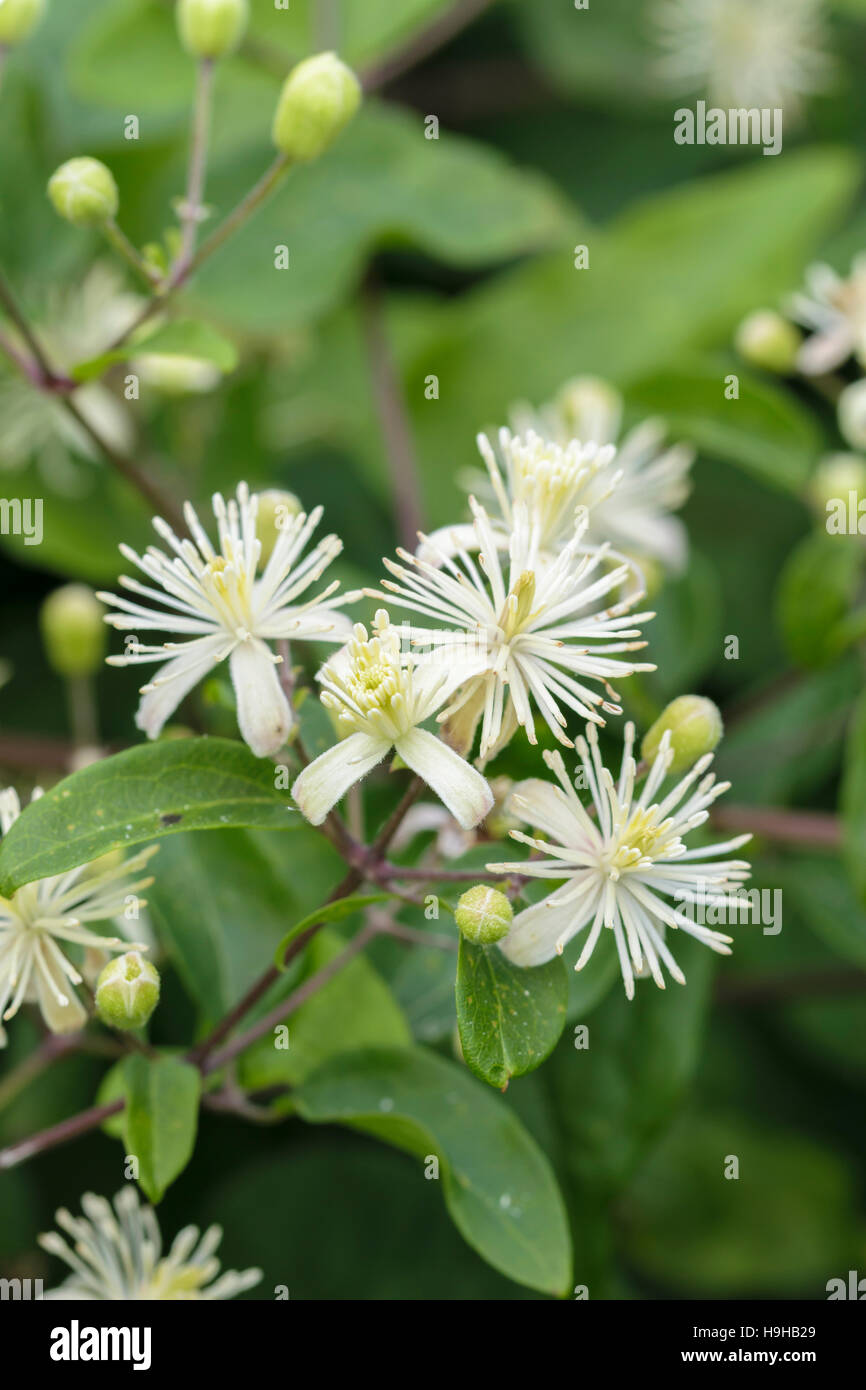 Traveller's joy Clematis vitalba showing buds just starting to flower - Stock Image