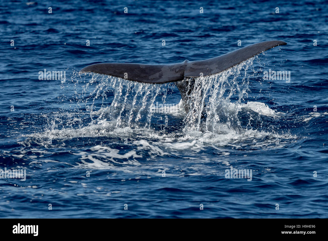 Whale Tail in Blue Ocean (Physeter macrocephalus) - Stock Image