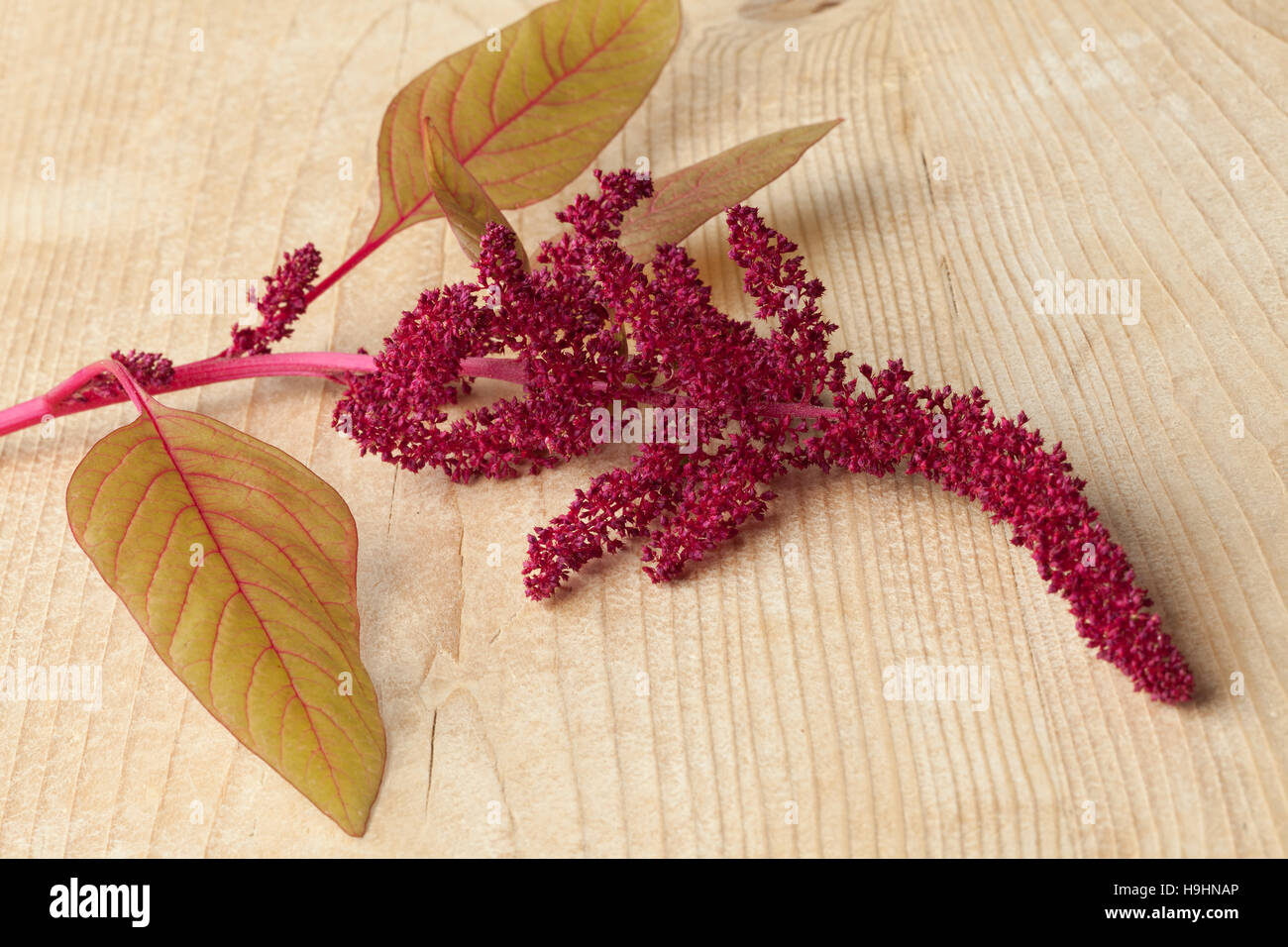 Twig with amaranth flowers close up Stock Photo