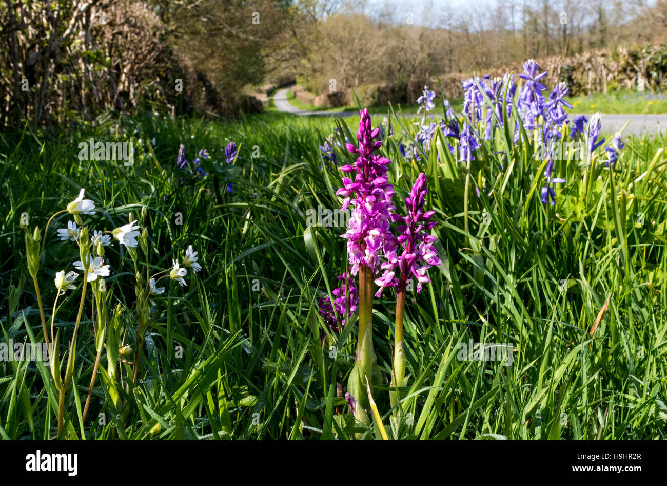Colourful, Wild Spring Flowers Growing on the Grassy Verge of a North Devon Lane, Orchids, Bluebells, and Stitchwort. - Stock Image