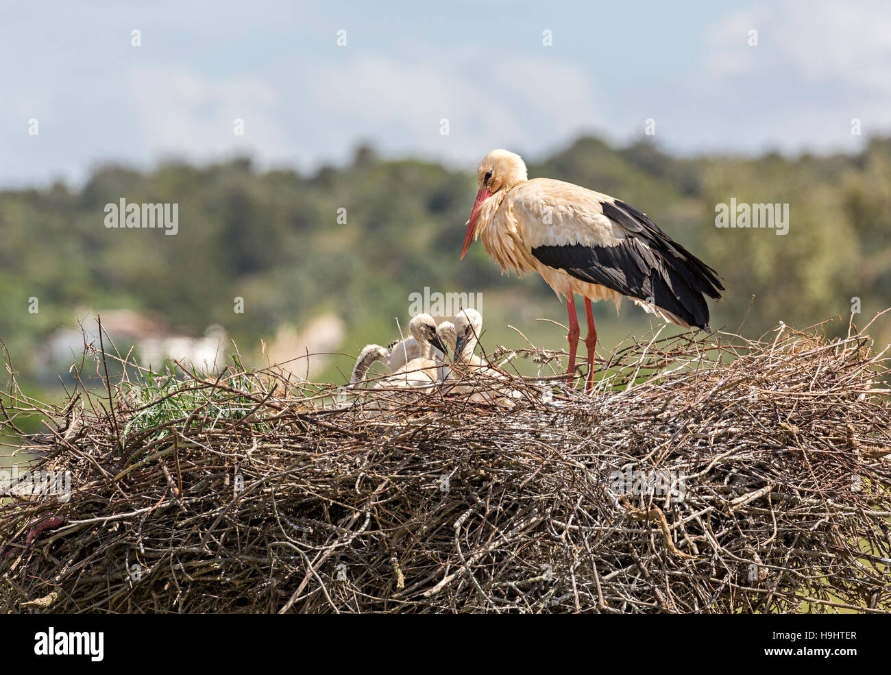 White stork Ciconia ciconia on nest, Algarve, Portugal, Europe - Stock Image