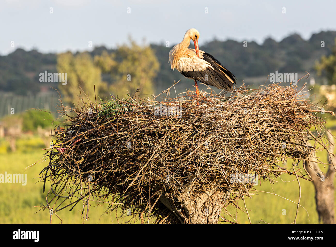 White stork Ciconia ciconia preening on nest, Algarve, Portugal, Europe - Stock Image