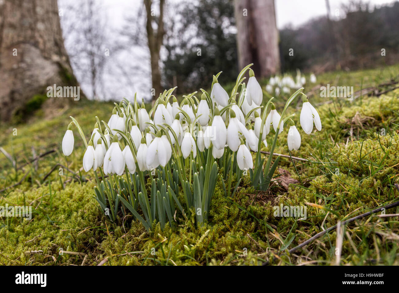 Snowdrops Galanthus nivalis in woodland, Wales, UK - Stock Image