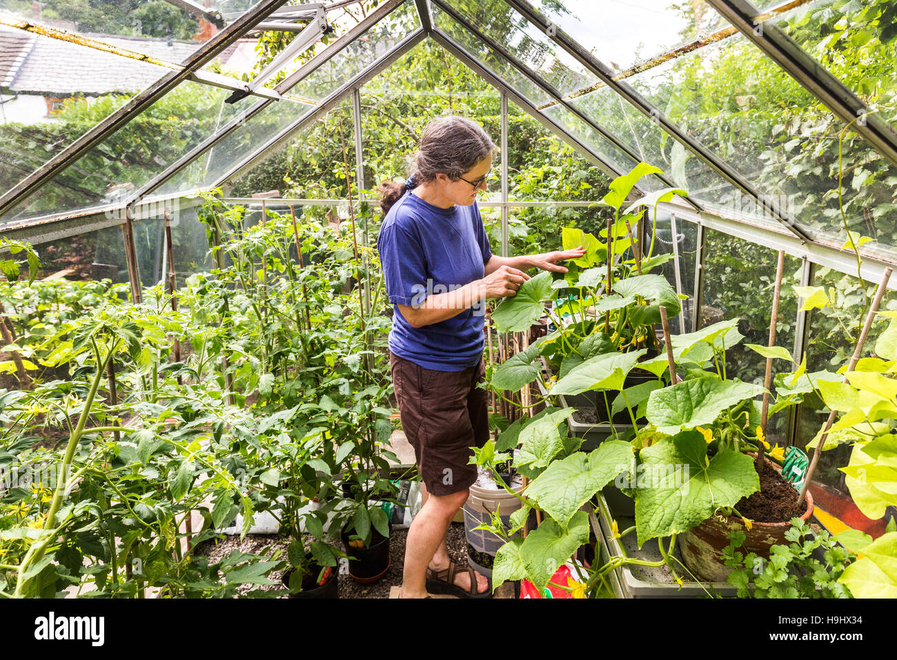 Woman tending cucumber and tomato plants in greenhouse, Wales, UK - Stock Image