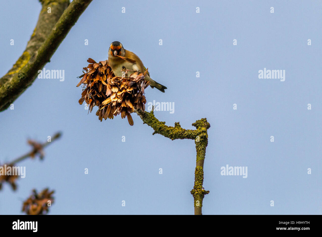 Goldfinch (Carduelis carduelis) eating seeds from a tree, Yorkshire, UK - Stock Image
