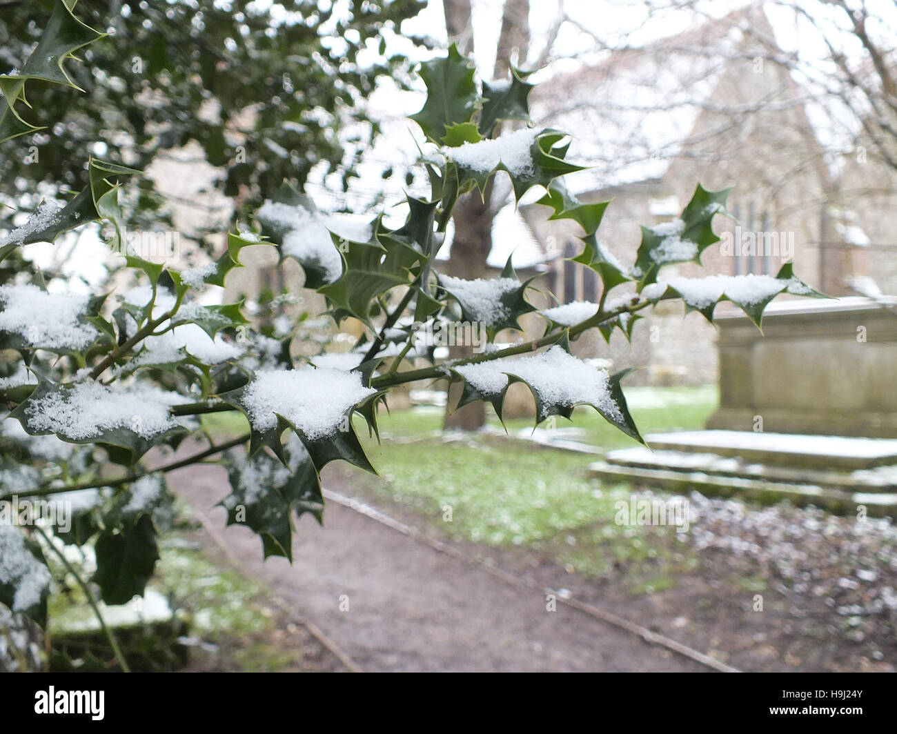 snow covered holly Stock Photo