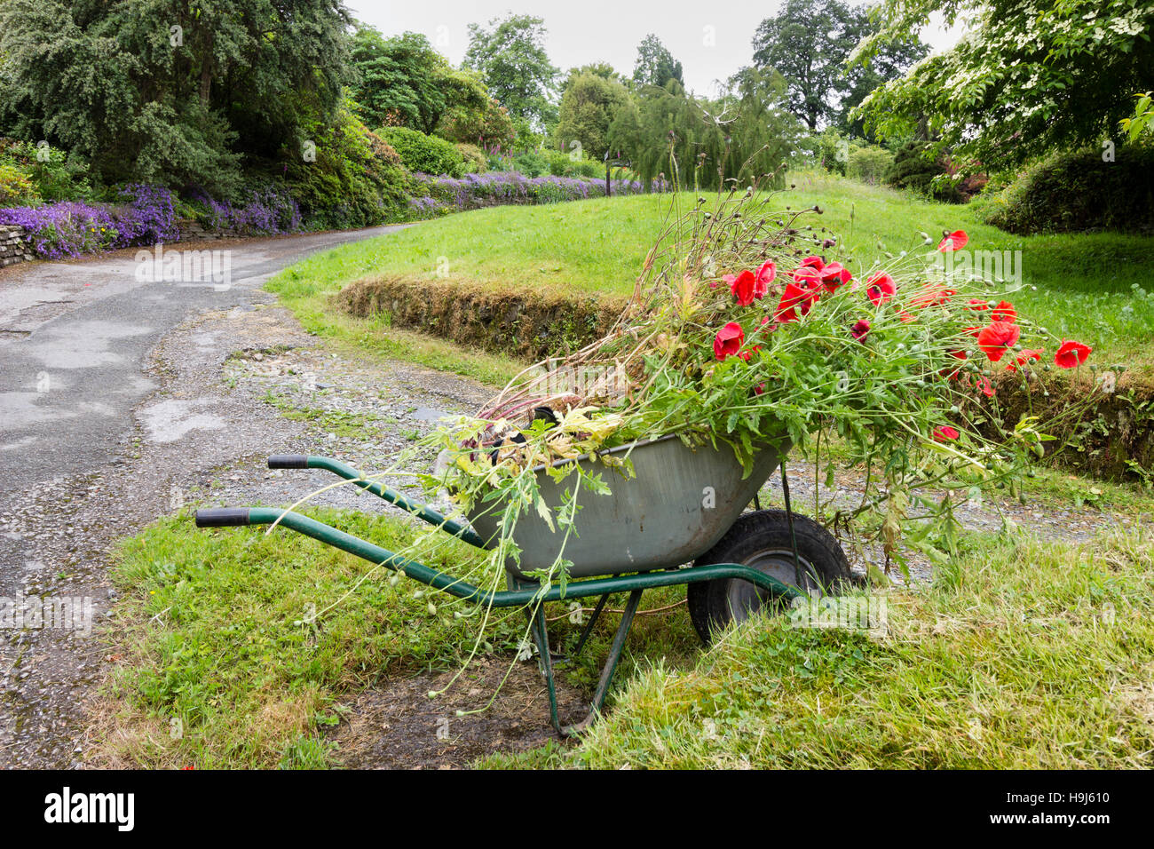 Wheelbarrow full of removed poppies and weeds at the Garden House, Devon - Stock Image