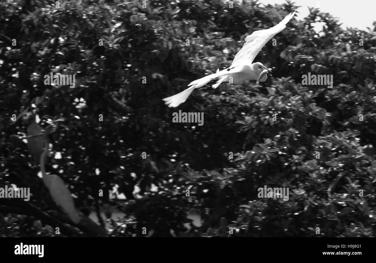 Heron in flight with caught fish in its beak - Stock Image