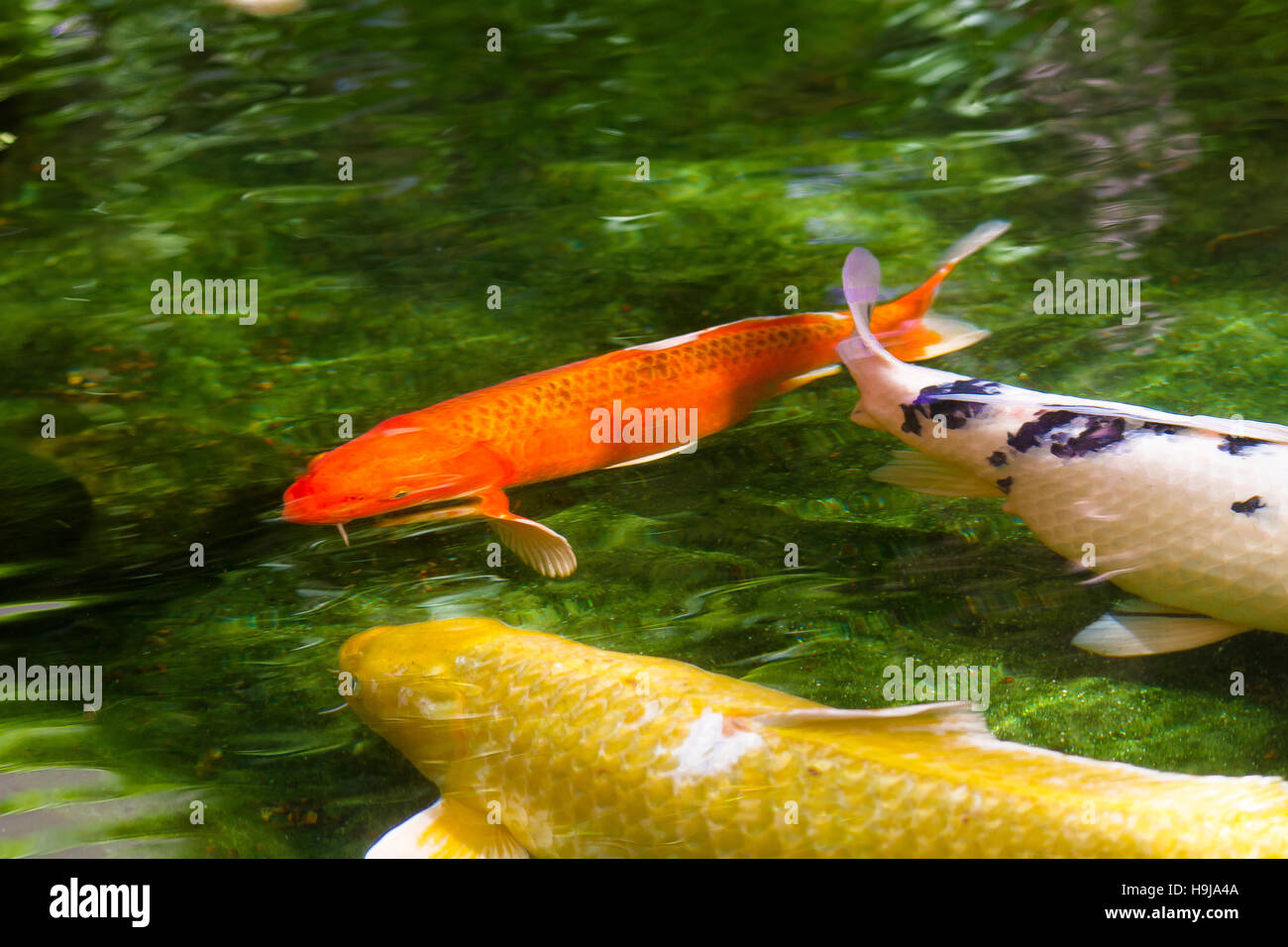 Three Koi fish (carp) red, yellow and white in green shalow lake with cristal water - Stock Image
