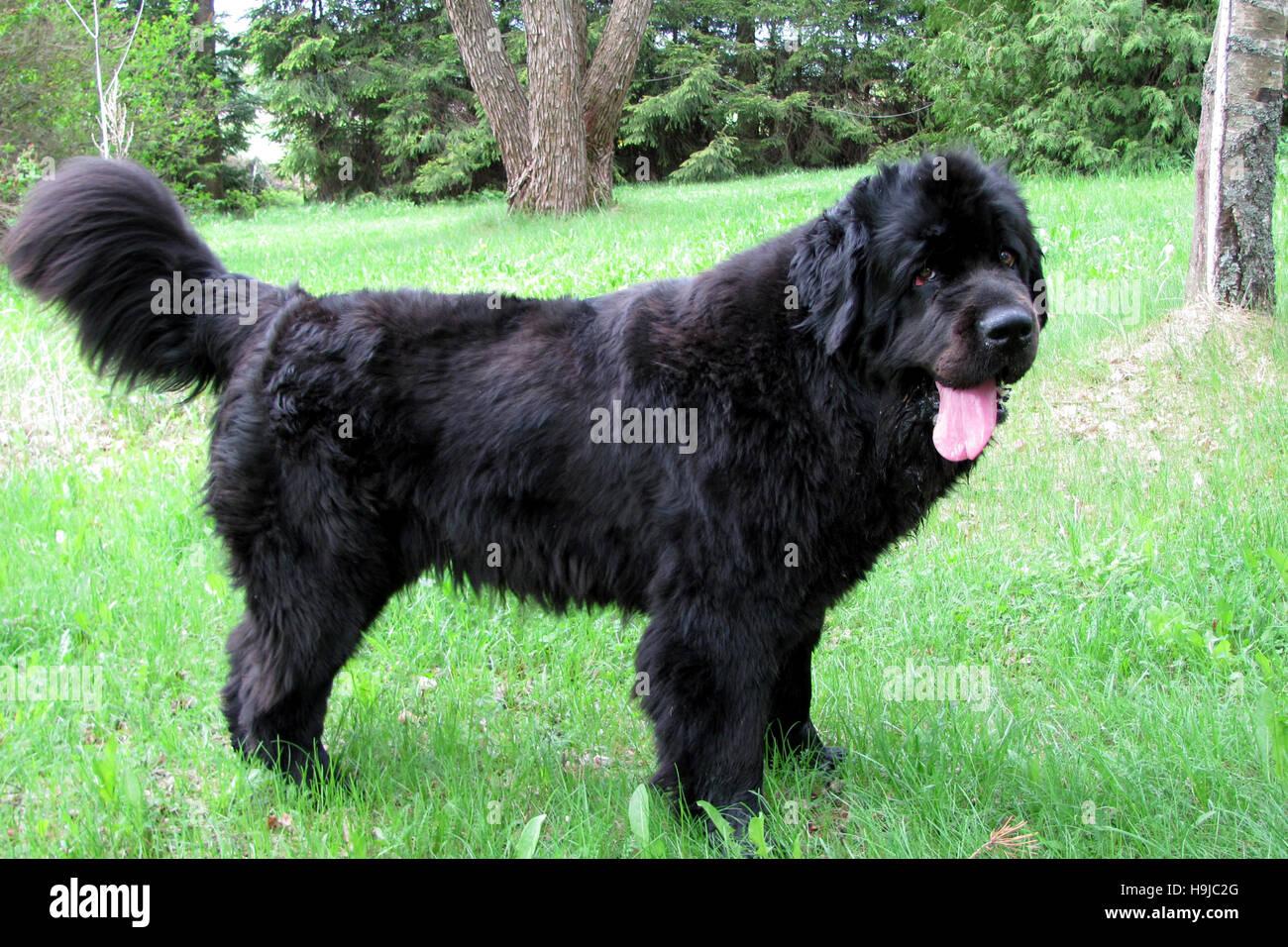 Newfoundland dog standing. - Stock Image