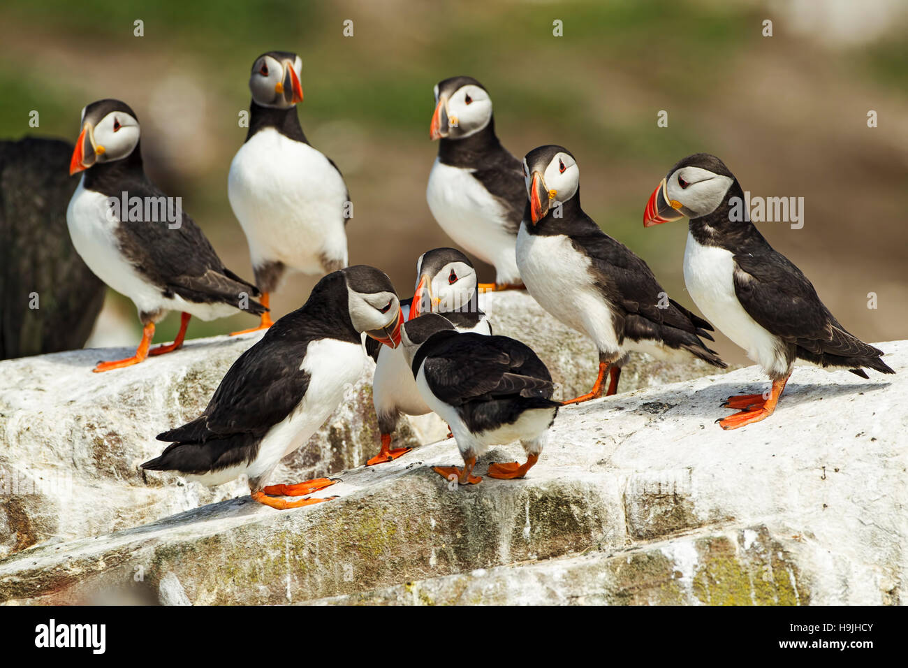 Group of 3 Puffins hitting each others beaks while 5 other puffins look on; - Stock Image