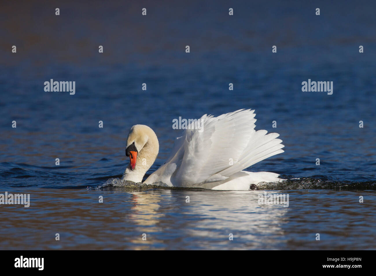 Territorial busking mute swan (Cygnus olor) male in threat display swimming with neck curved back and wings half - Stock Image