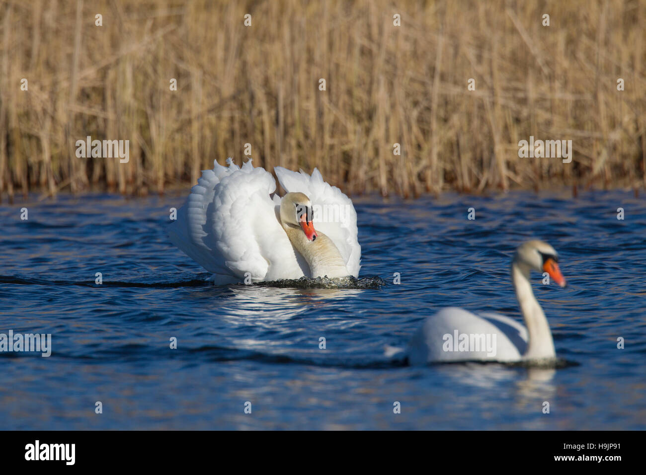 Busking mute swan (Cygnus olor) male in threat display swimming with neck curved back and wings half raised in lake - Stock Image