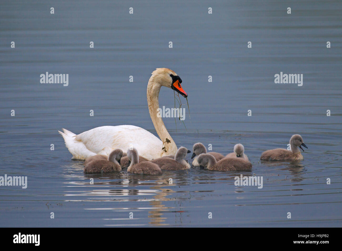 Mute swan (Cygnus olor) with young / cygnets feeding in lake in spring Stock Photo