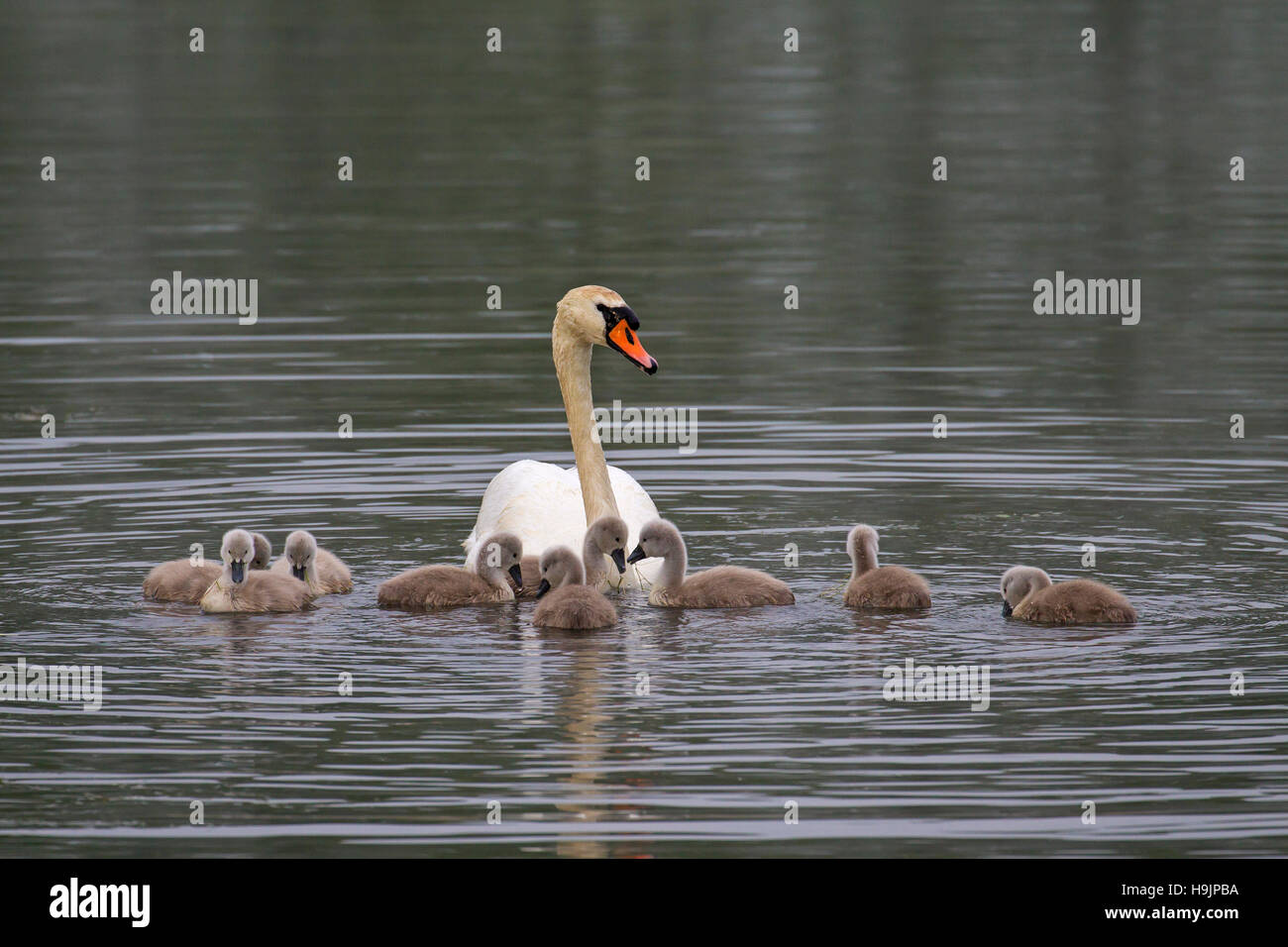 Mute swan (Cygnus olor) swimming with young / cygnets in lake in spring Stock Photo