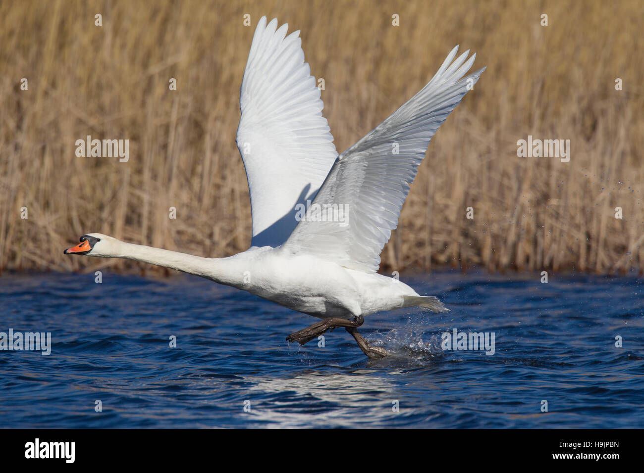 Mute swan (Cygnus olor) male taking off from lake in spring - Stock Image