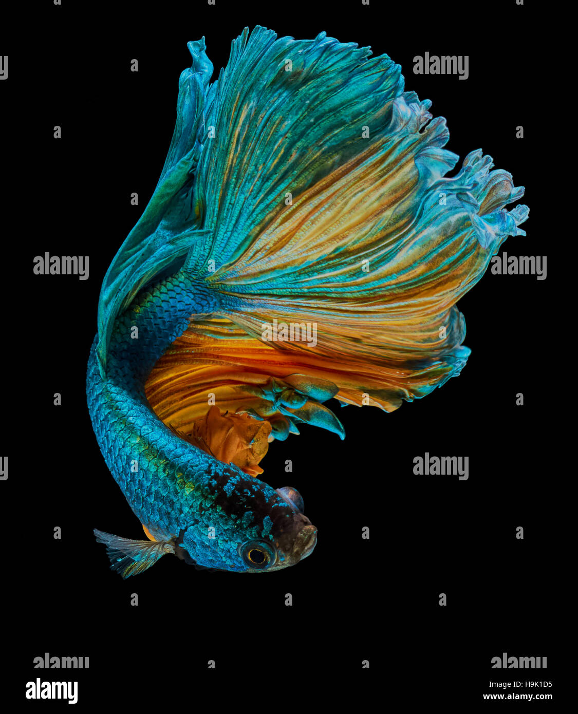 betta fish, siamese fighting fish 'Half moon' isolated on black background - Stock Image