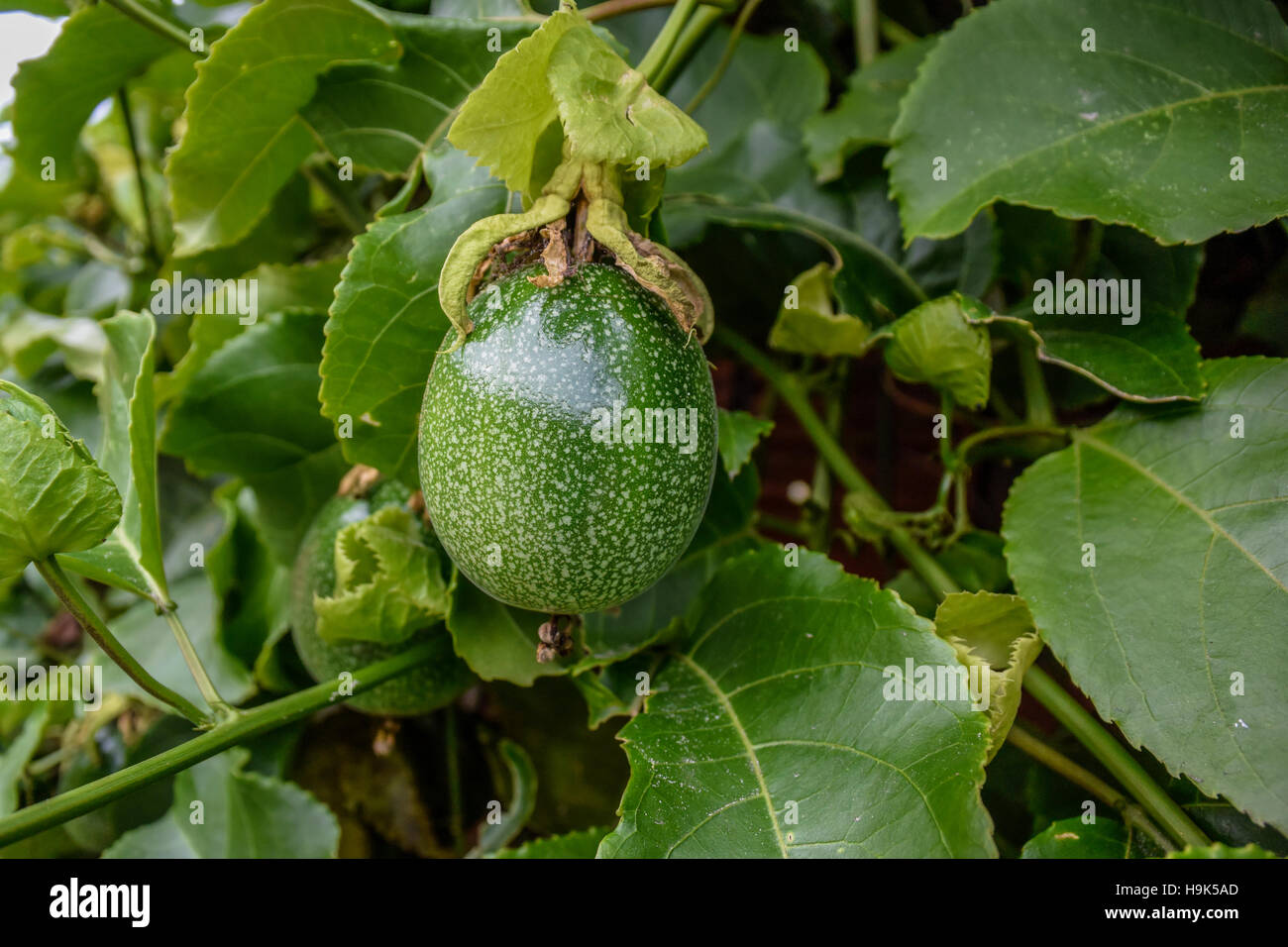 Ripe Passion Fruit Pictures