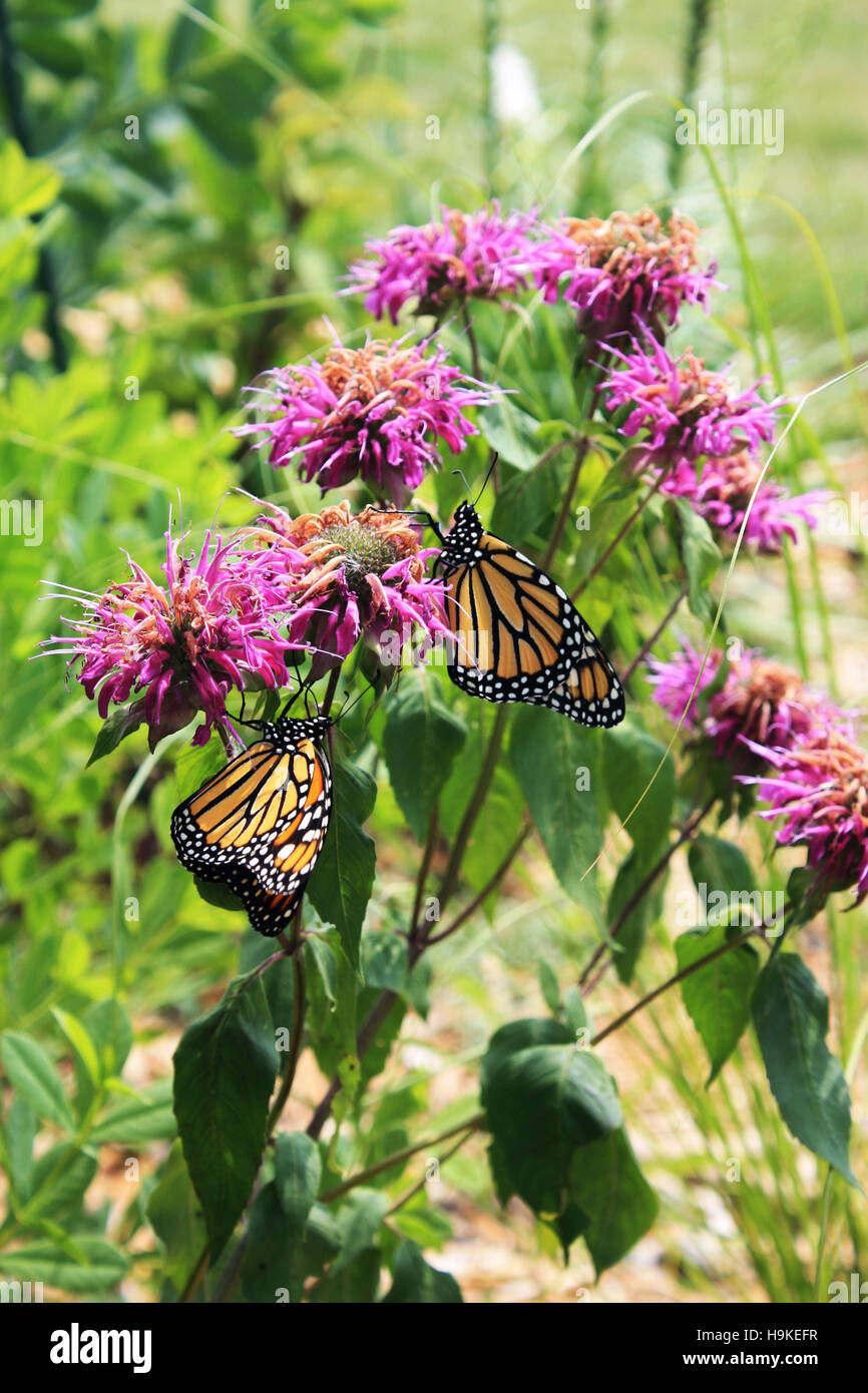 Close up of two Monarch butterflies resting on Bee Balm flowers in a garden in Trevor, Wisconsin, USA - Stock Image