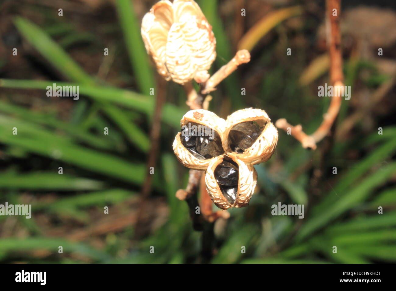 lily seeds stock photos lily seeds stock images alamy