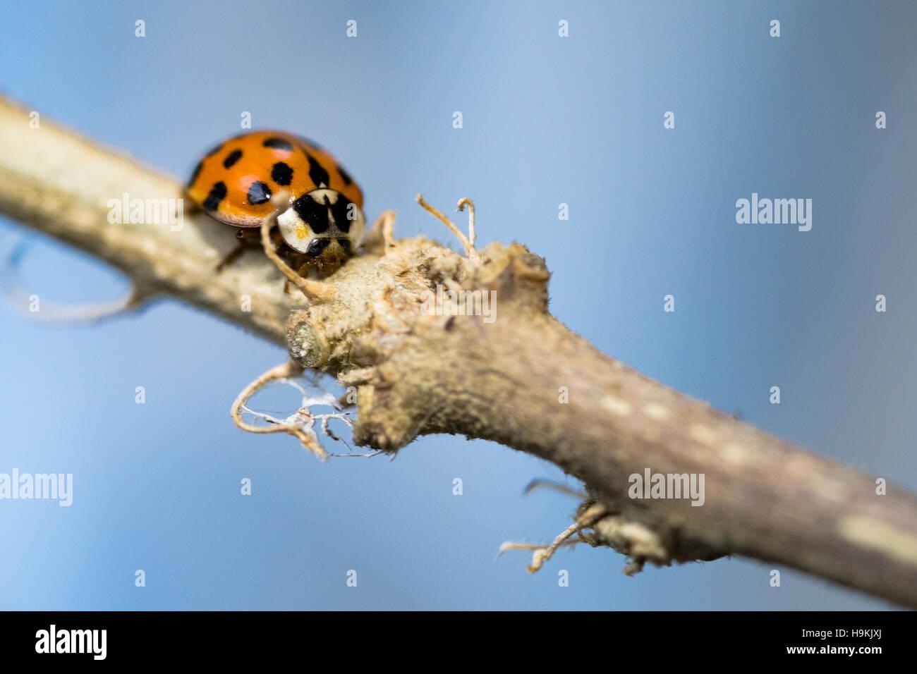 asian lady beetle - macro - Stock Image