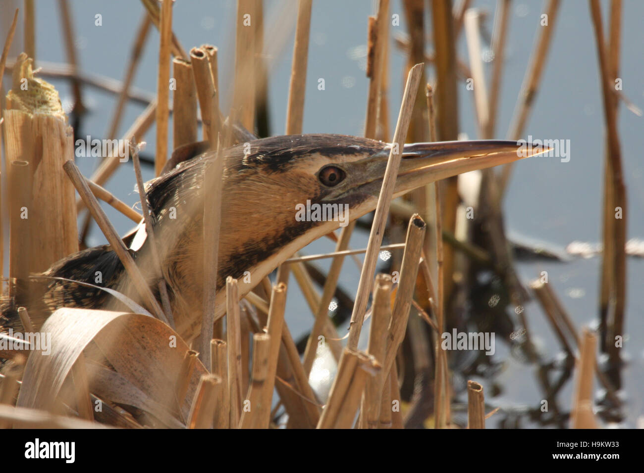 A  rare and elusive Bittern (Botaurus stellaris) hunting in the reed bed. - Stock Image