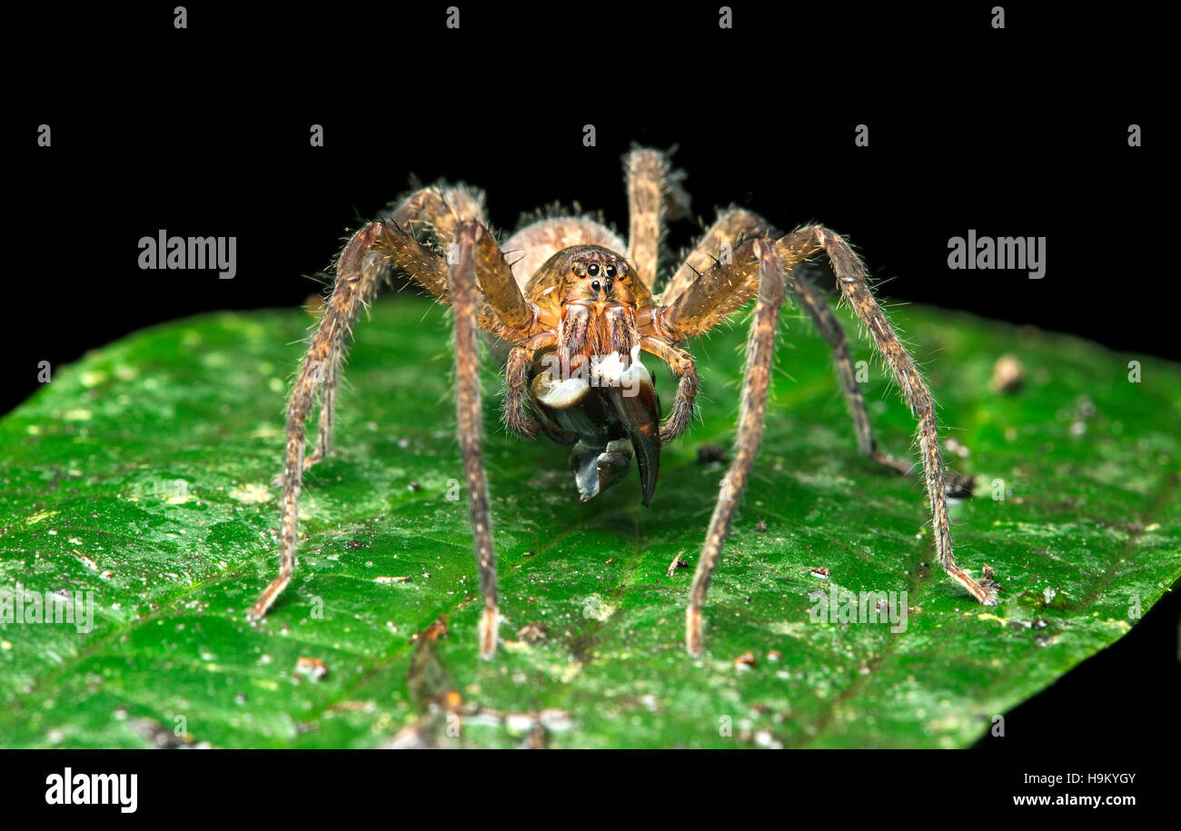 Neotropical migrant spider (Ctenidae) with prey, Choco forest, Canande River nature reserve, Ecuador - Stock Image