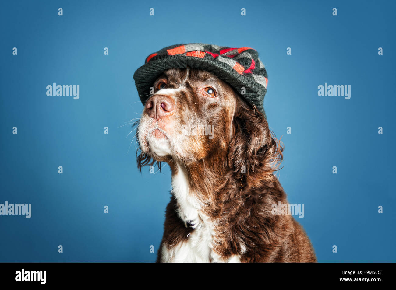 english springer spaniel looking distinguished in a checkered cap - Stock Image