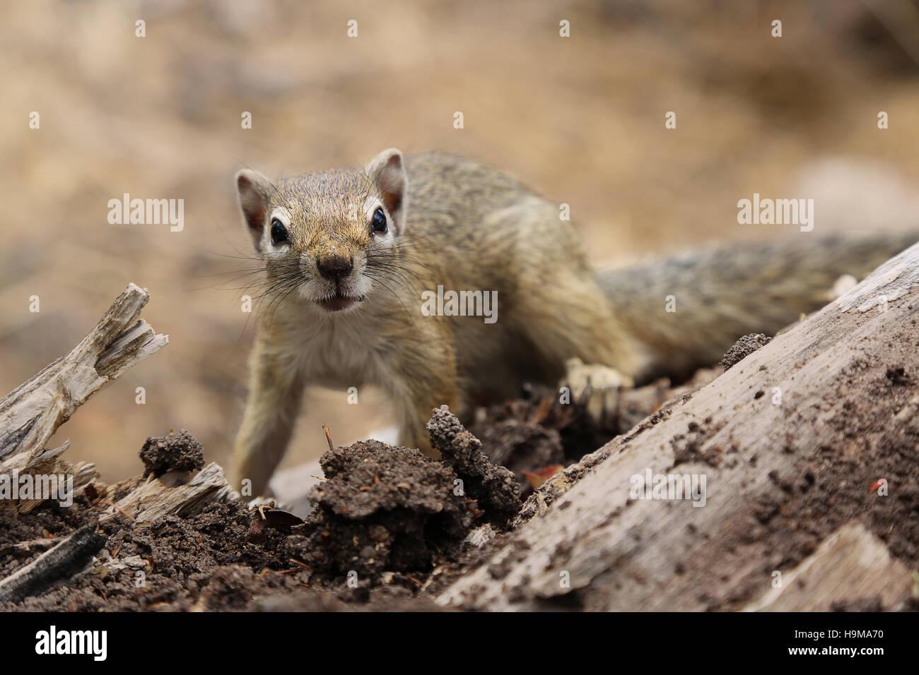 Ground Squirrel looking at you at Etosha National Park Namibia - Stock Image