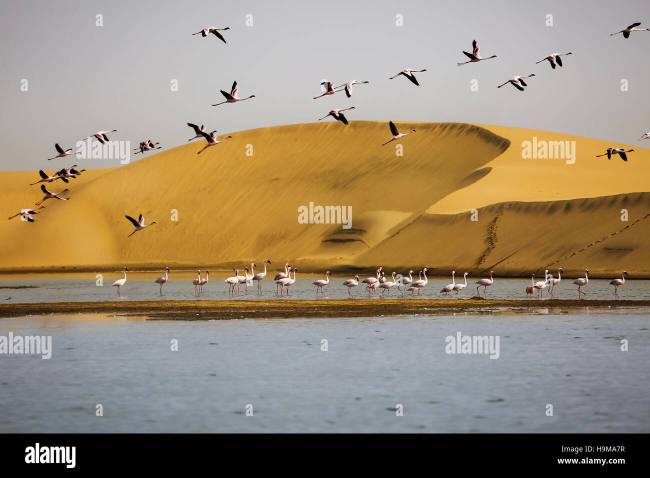 Flamingos with sand dunes on backgound in Walvis Bay, Namibia - Stock Image