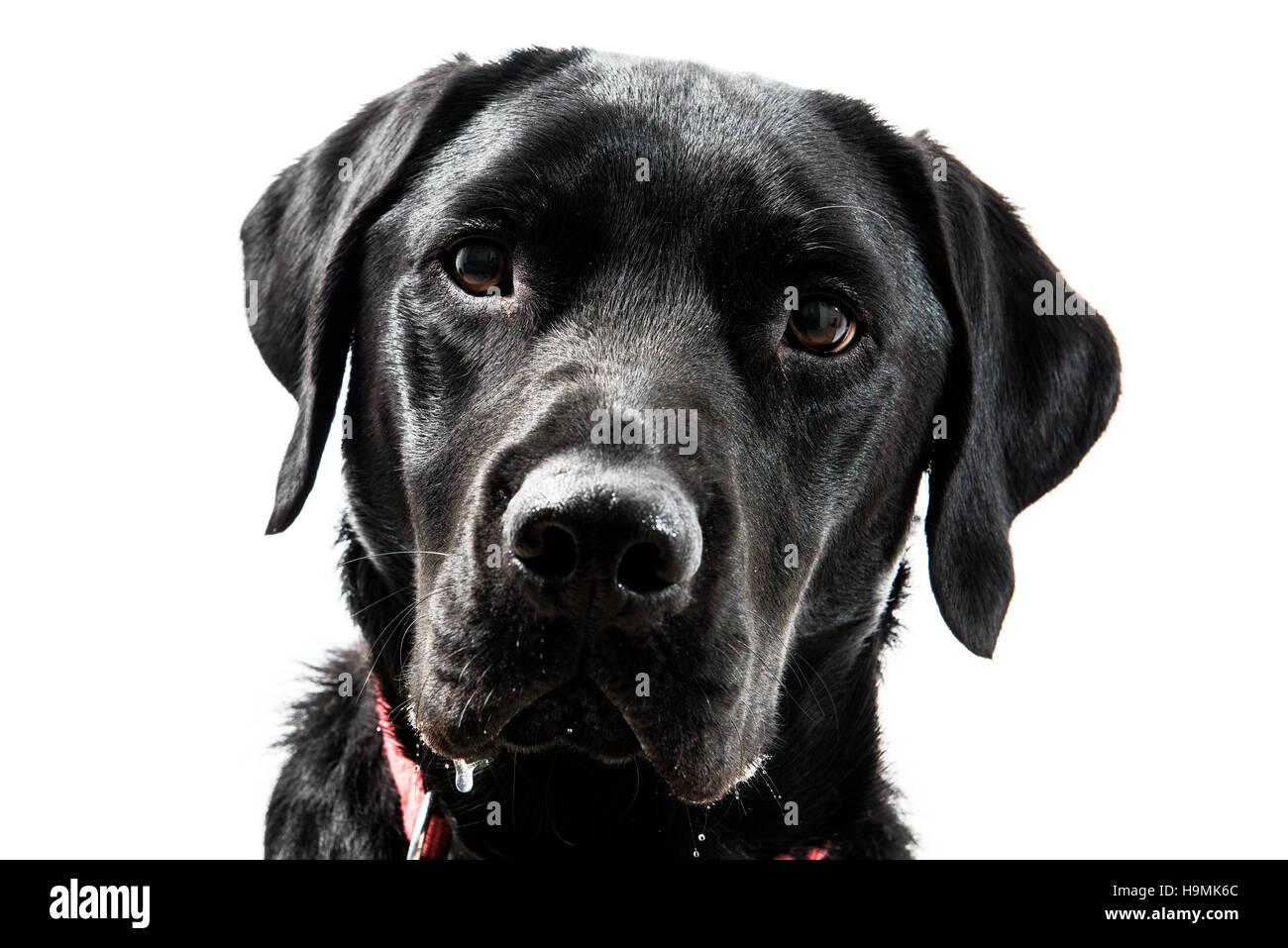 Portrait of a black Labrador dog on a white background - Stock Image