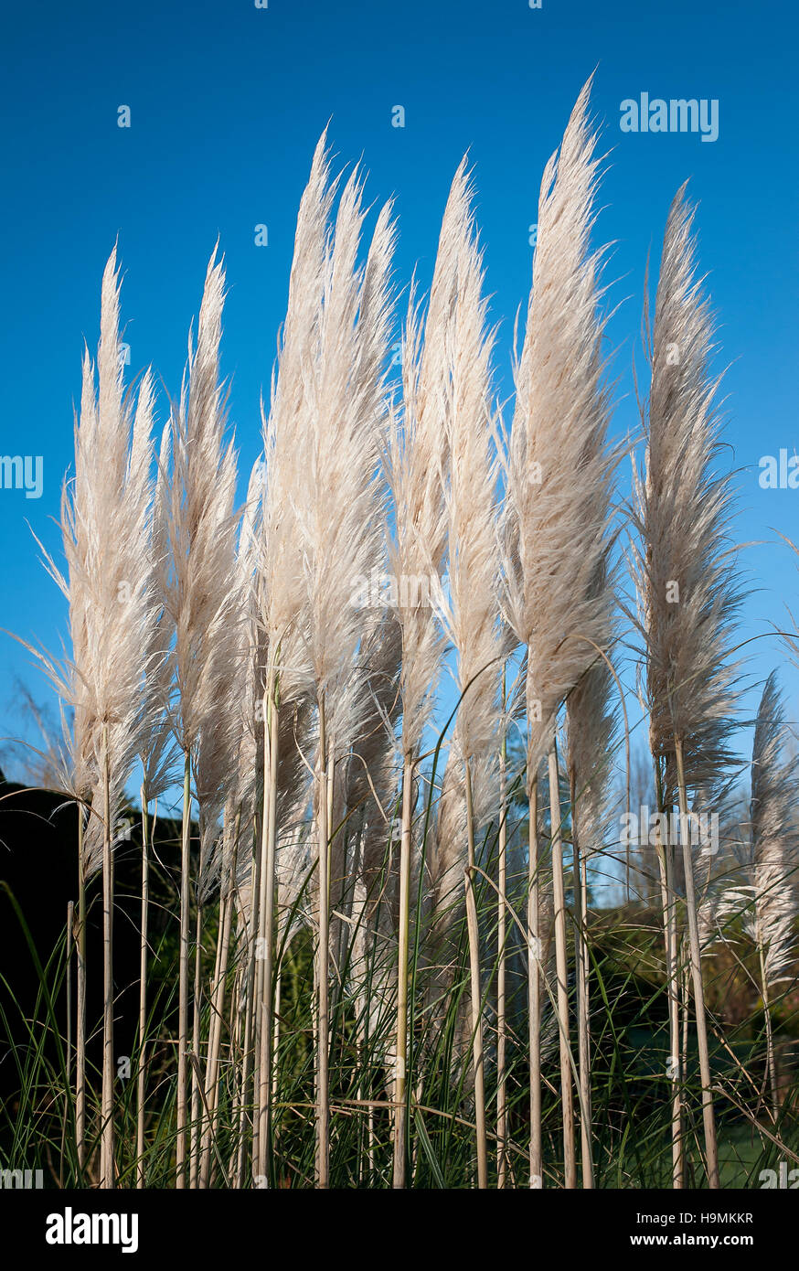 selloana cortaderia plumes against clear blue sky - Stock Image