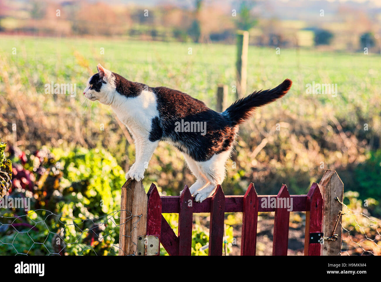 Black and white cat on a garden gate hunting in a country garden - Stock Image