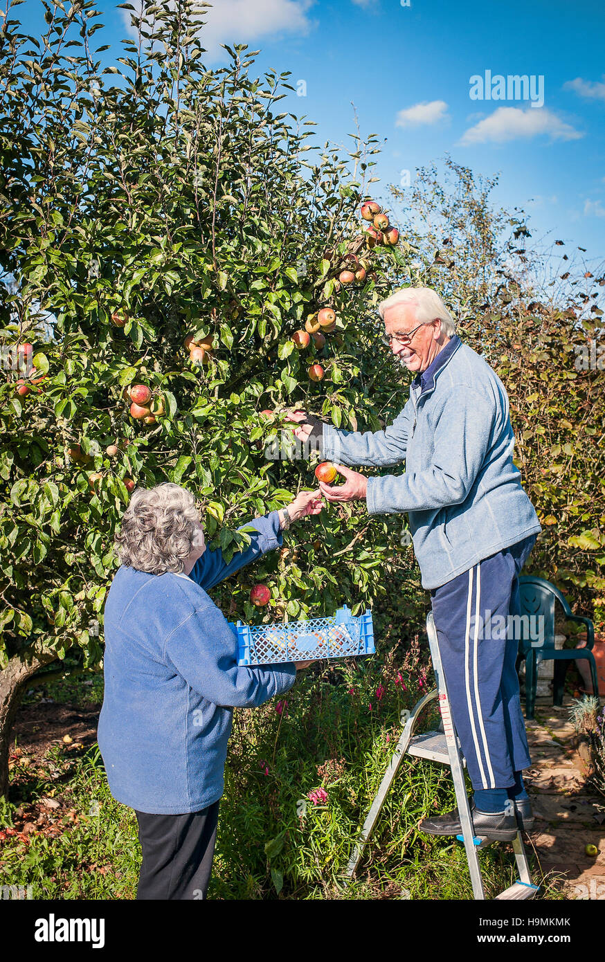 Two pensioners harvesting apples in their garden - Stock Image